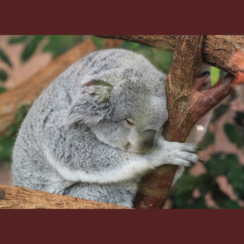 Koala sleeping in a tree.